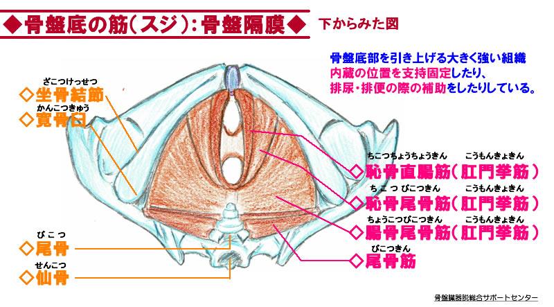 骨盤底筋の膜
