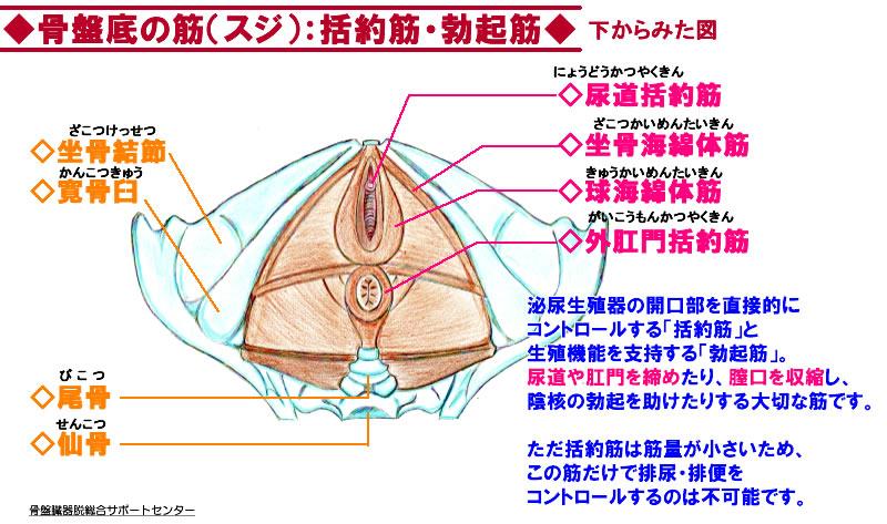 骨盤底筋の膜03